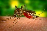 How can Dengue fever treated at home?