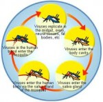 What are the causes of dengue fever?